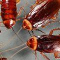 الحل النهائي للقضاء على الصراصير الصغيره